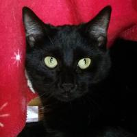 Domestic Shorthair/Domestic Shorthair Mix Cat for adoption in Mountain Center, California - Hyacinth