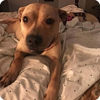 Adopt A Pet :: Hanna - Richmond, VA