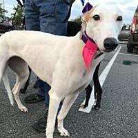 Adopt A Pet :: Piper - Spencerville, MD