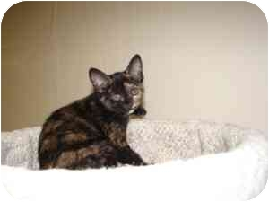 Domestic Shorthair Kitten for adoption in Milwaukee, Wisconsin - Tulula