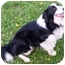 Photo 2 - Border Collie Dog for adoption in Minerva, Ohio - Troy