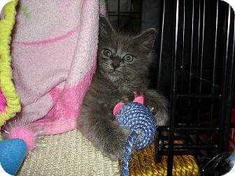 Russian Blue Kitten for adoption in Easley, South Carolina - Baby Blue Boy