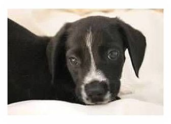 Beagle Mix Puppy for adoption in Pompton Lakes, New Jersey - Skipper