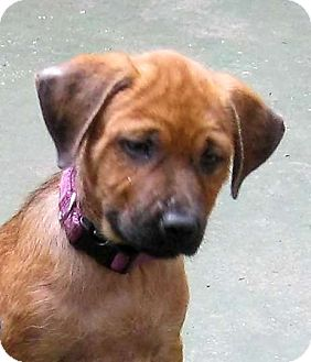 Redbone Coonhound/German Shepherd Dog Mix Puppy for adoption in Cantrall, Illinois - Carli