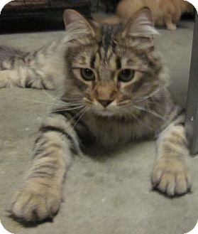 Maine Coon Cat for adoption in Winchester, California - Bonito