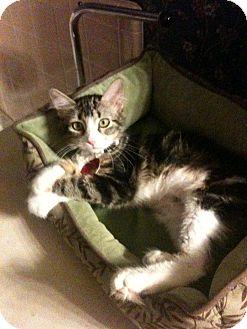 Domestic Mediumhair Kitten for adoption in Edmond, Oklahoma - Aurora