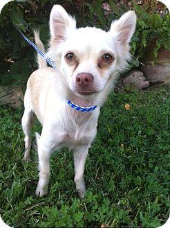 Chihuahua Puppy for adoption in Irvine, California - MAYA