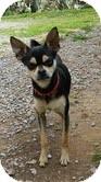 Miniature Pinscher Mix Dog for adoption in Staunton, Virginia - Little Man