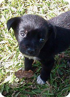 Labrador Retriever Mix Puppy for adoption in Cairo, Georgia - Pebbles