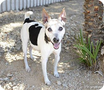 Jack Russell Terrier Mix Dog for adoption in Las Vegas, Nevada - Ginny
