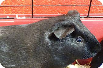 Guinea Pig for adoption in Elyria, Ohio - Cash