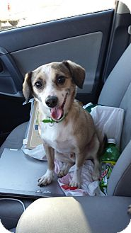 Beagle/Terrier (Unknown Type, Small) Mix Dog for adoption in Phoenix, Arizona - Oliver