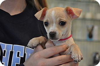 Chihuahua Mix Puppy for adoption in Milton, New York - luna