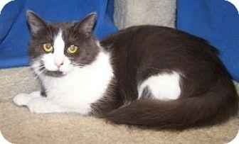 Domestic Mediumhair Cat for adoption in Colorado Springs, Colorado - Marcy