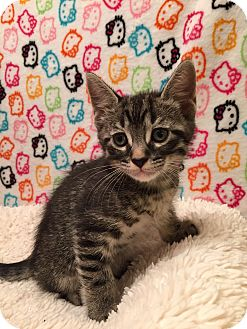 Domestic Shorthair Kitten for adoption in Fountain Hills, Arizona - XAPPY