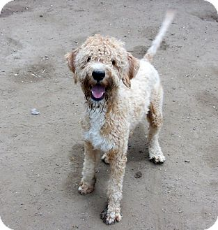Labradoodle Dog for adoption in Liberty Center, Ohio - Riker
