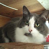 Domestic Mediumhair Cat for adoption in Chapman Mills, Ottawa, Ontario - CHRISSY