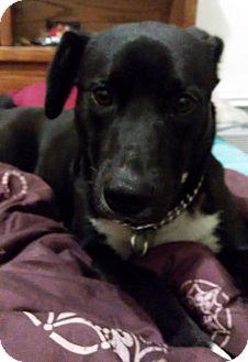 Labrador Retriever Mix Dog for adoption in Washington court House, Ohio - Harley