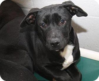 Labrador Retriever Mix Dog for adoption in Philadelphia, Pennsylvania - Jenny