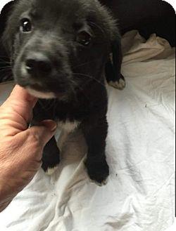Shepherd (Unknown Type) Mix Puppy for adoption in Hainesville, Illinois - Dash