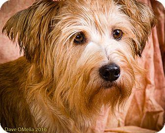 Schnauzer (Miniature) Mix Dog for adoption in Anna, Illinois - HANK