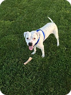 Pit Bull Terrier Mix Dog for adoption in Charlotte, North Carolina - Riley