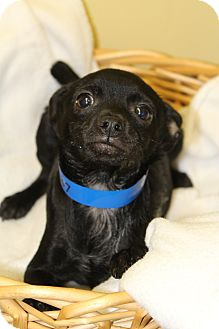 Chihuahua Mix Puppy for adoption in Waldorf, Maryland - Fraley