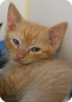 Domestic Shorthair Kitten for adoption in Staunton, Virginia - Jon