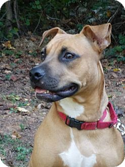 Rhodesian Ridgeback/Black Mouth Cur Mix Dog for adoption in Woodstock, Georgia - Raven