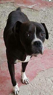 Boxer Dog for adoption in Long Beach, California - Riley
