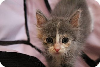 Maine Coon Kitten for adoption in Los Angeles, California - Evangelina