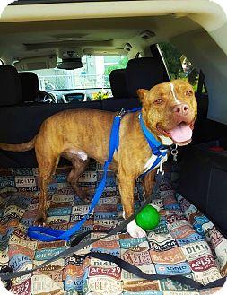 American Staffordshire Terrier Mix Dog for adoption in Salt Lake City, Utah - Oso