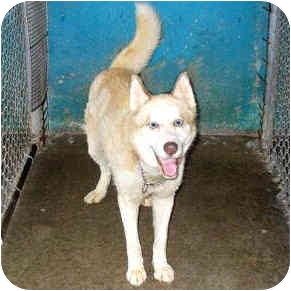 "Alaskan Malamute Dog for adoption in Various Locations, Indiana - ""Monty is Urgent"""