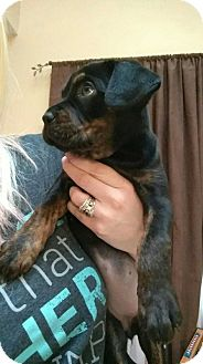 Pug Mix Puppy for adoption in Hainesville, Illinois - Emmie