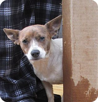 Jack Russell Terrier Mix Dog for adoption in Silver Spring, Maryland - Chloe