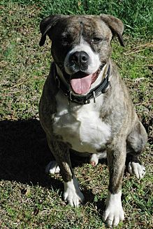 American Bulldog/Border Collie Mix Dog for adoption in West Springfield, Massachusetts - Murphy