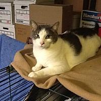 Domestic Shorthair Cat for adoption in Fairfax, Virginia - Charlie
