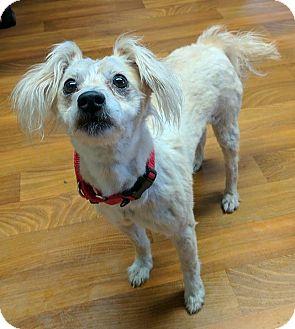 Poodle (Miniature)/Pug Mix Dog for adoption in Lisbon, Ohio - Sox
