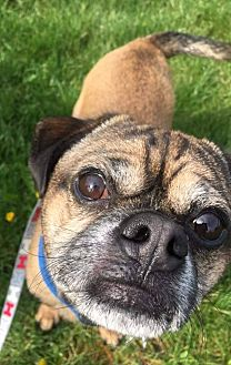 Pug Mix Dog for adoption in Youngstown, Ohio - Rico