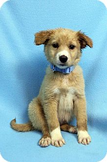 Retriever (Unknown Type)/Shepherd (Unknown Type) Mix Puppy for adoption in Westminster, Colorado - Hana