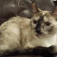 Siamese/Domestic Shorthair Mix Cat for adoption in Marshfield, Wisconsin - Anastasia