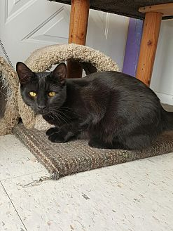 Domestic Shorthair Cat for adoption in Richboro, Pennsylvania - Rocco