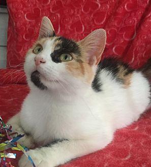 Calico Kitten for adoption in Bloomsburg, Pennsylvania - Flora