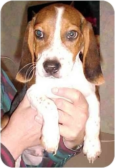 Beagle Puppy for adoption in North Judson, Indiana - Snoopy
