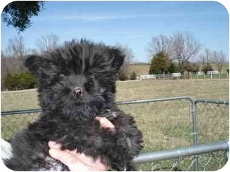 Cairn Terrier Mix Puppy for adoption in Lonedell, Missouri - Wiley