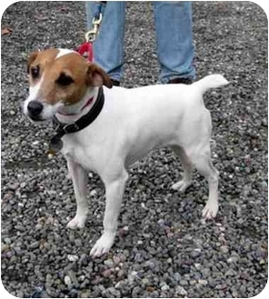 Jack Russell Terrier Dog for adoption in Rhinebeck, New York - Shorty