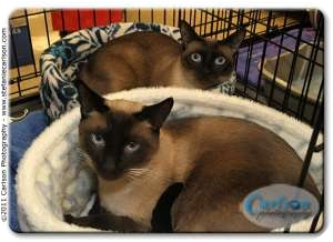 Siamese Cat for adoption in Yorba Linda, California - Ariel and Beau