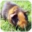 Photo 2 - Guinea Pig for adoption in Phoenix, Arizona - Jason