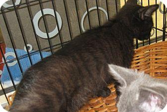 Bengal Kitten for adoption in Dallas, Texas - Macchiato