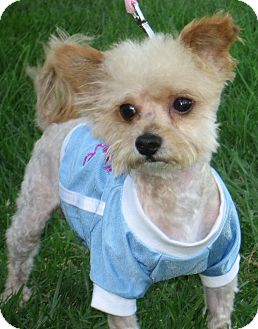 Yorkie, Yorkshire Terrier/Poodle (Miniature) Mix Dog for adoption in Poway, California - BOBBY